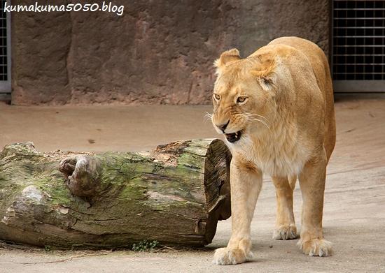 ライオン_1681