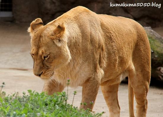 ライオン_1683