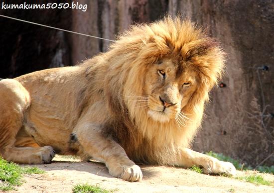 ライオン_1691