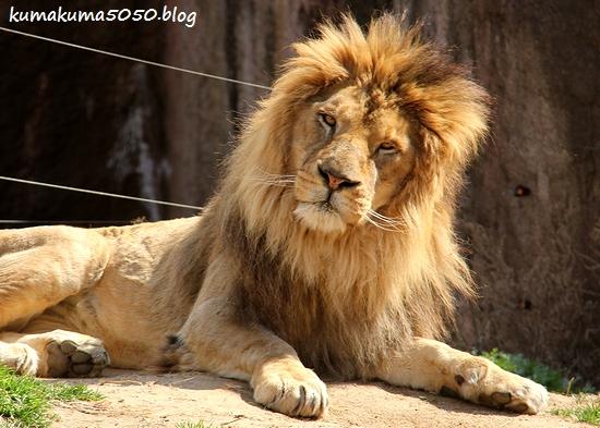 ライオン_1692