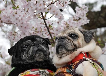 桜とどんぶり・せいろ親子