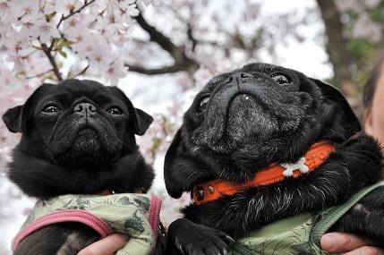 桜とりきなめこ