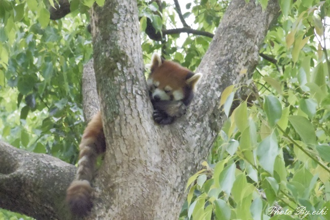 埼玉県こども動物自然公園のレッサーパンダの写真