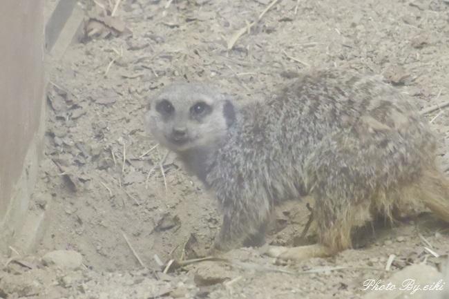 埼玉県こども動物自然公園のシママングースの写真