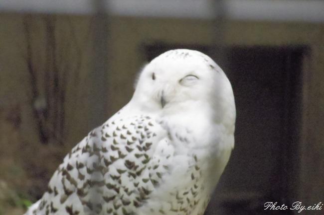 埼玉県こども動物自然公園のシロフクロウの写真