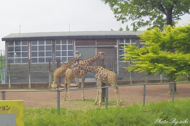 埼玉県こども動物自然公園のキリンの写真