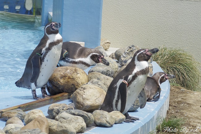 埼玉県こども動物自然公園のペンギンヒルズのペンギンの写真