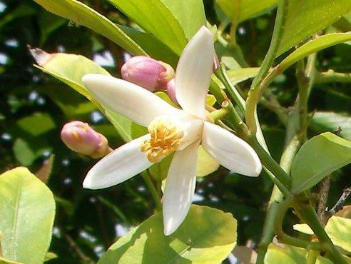 201705141232レモンの花満開① - 2