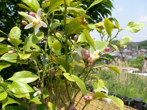 201705141232レモンの花満開①-1