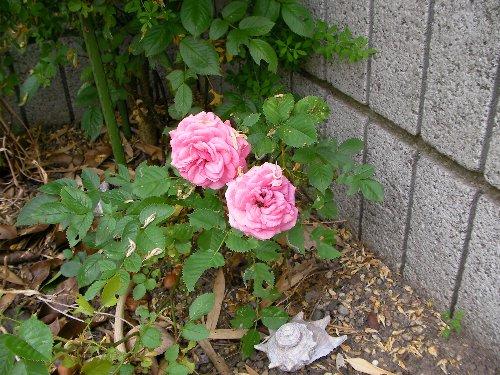 201705311235ミニ薔薇④-1
