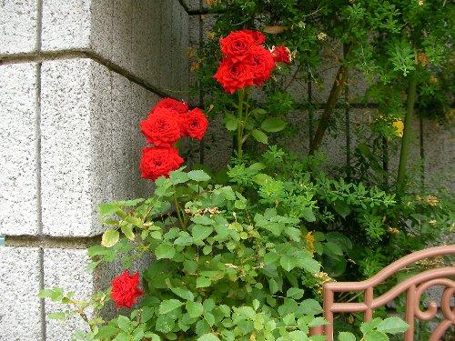 201705311235ミニ薔薇②-1