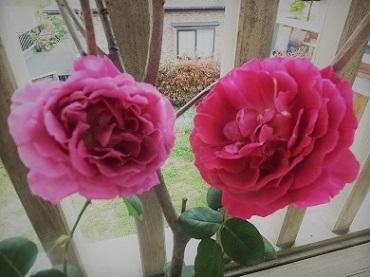 2015年5月バラ姉妹