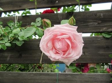 ピンクのバラ咲き始めました