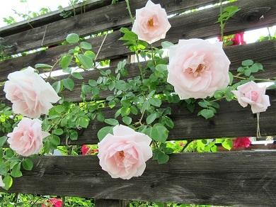 ピンクちゃん花盛り