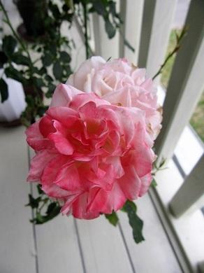 ベランダのバラ1