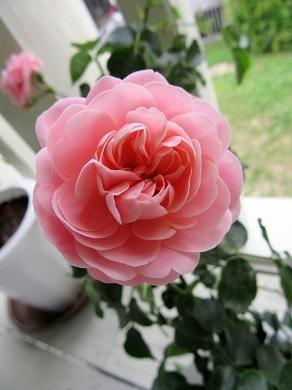 ベランダのバラ2