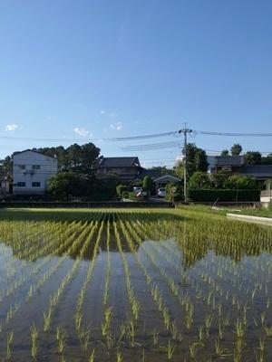 黄檗田植えの後1706