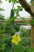 BL170811野菜の花3IMG_8131