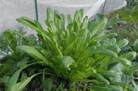 BL180107畑の菜っ葉1IMG_0067