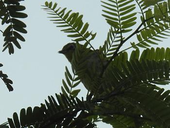 ハイバラメジロ1