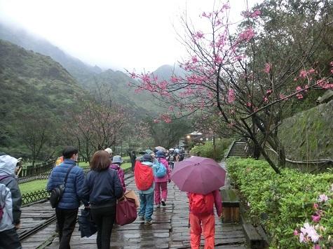 12 トロッコの線路沿いは台湾桜が綺麗でした