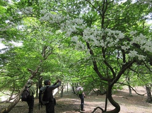 9 シロヤシオが咲く