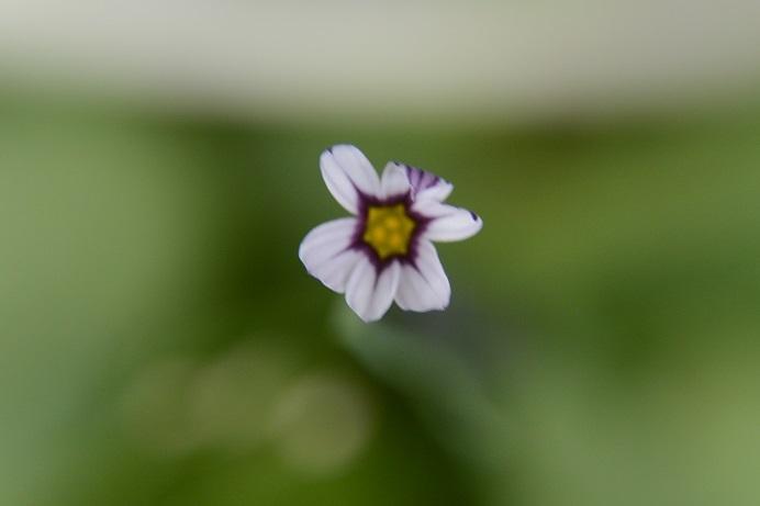 庭石勝白花