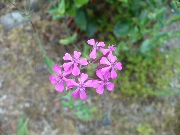 ピンク雑草