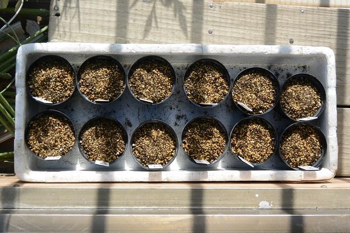 変化朝顔種蒔き