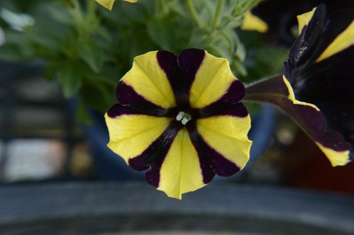 ペチュニア黄黒花