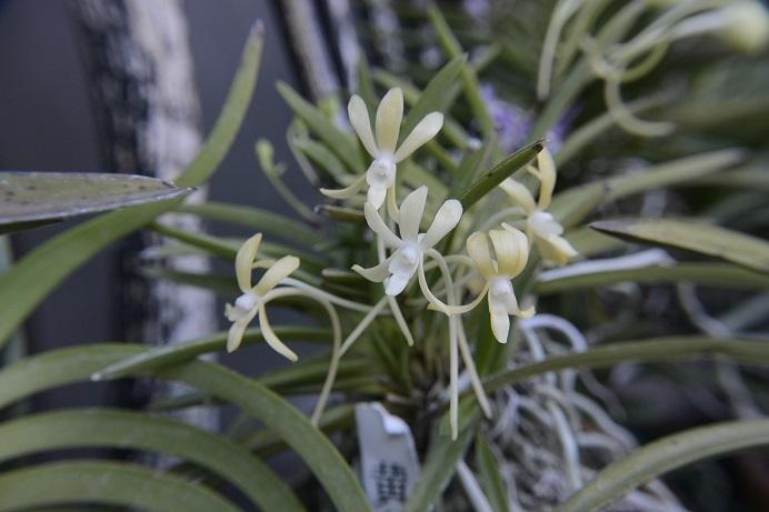黄花富貴蘭B