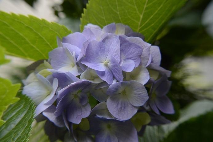紫陽花青花