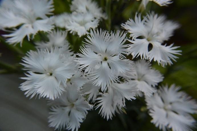 カワラナデシコ白