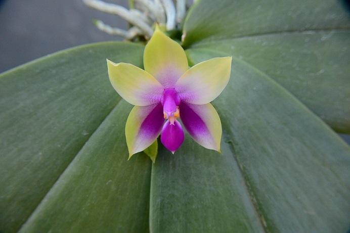 Fビオラセア開花