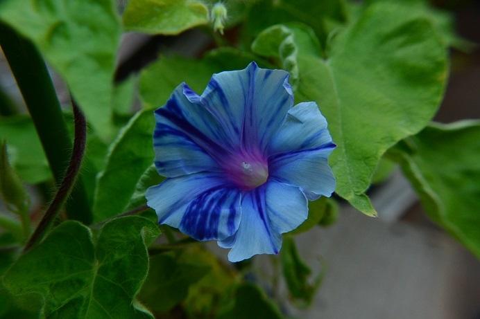 紫笹牡丹7交雑花