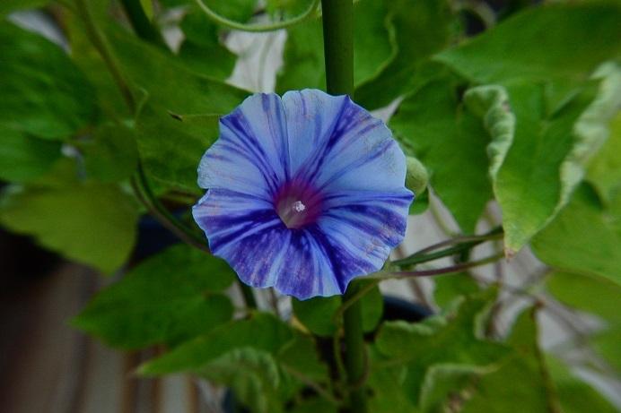 黄葉紫笹牡丹8交雑