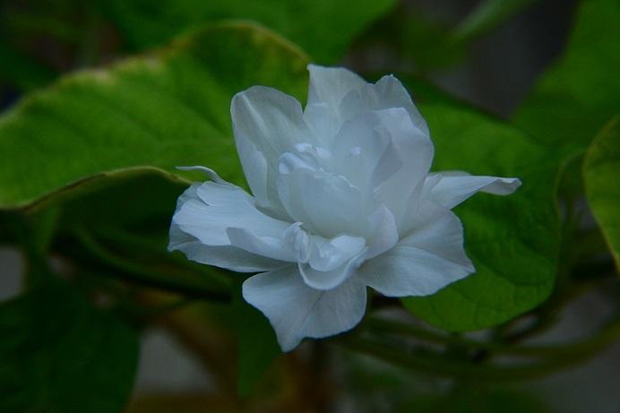 白撫子牡丹