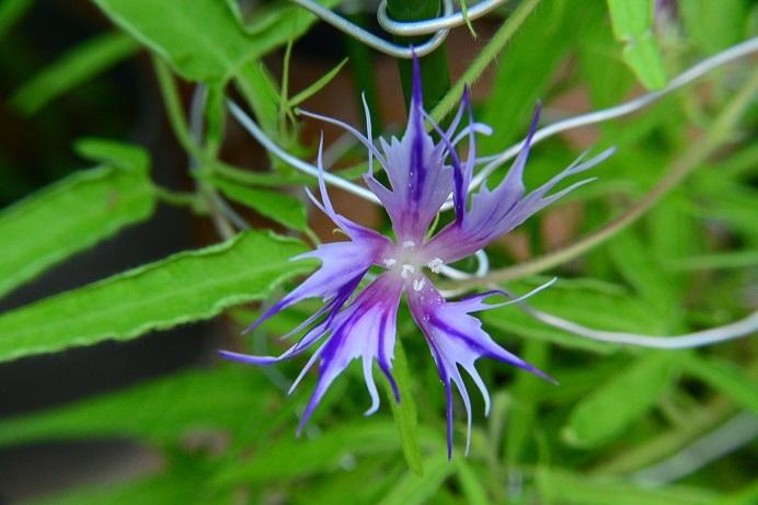 紫吹雪采咲4
