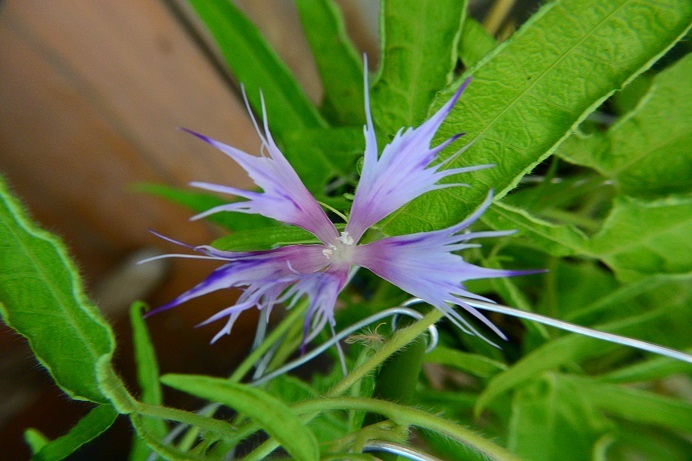 紫吹雪采咲5