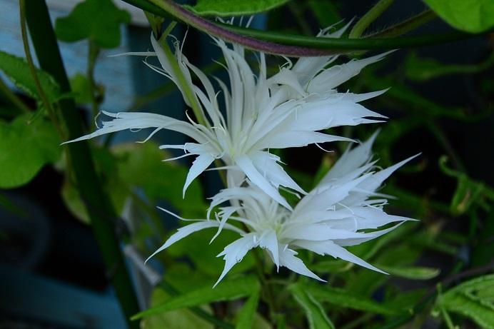 白ナデシコ采咲牡丹