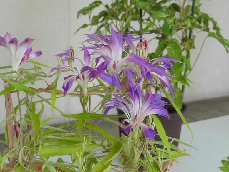 紫采咲牡丹