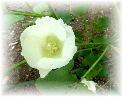 綿の花5-1