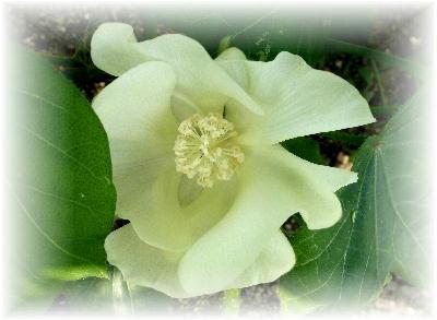 綿の花5-2