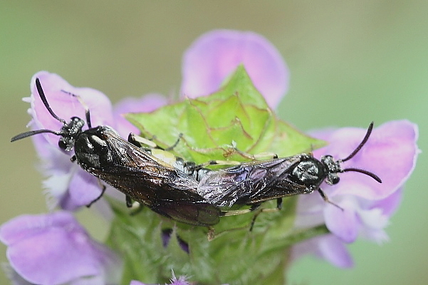 黄帯のミフシハバチ2