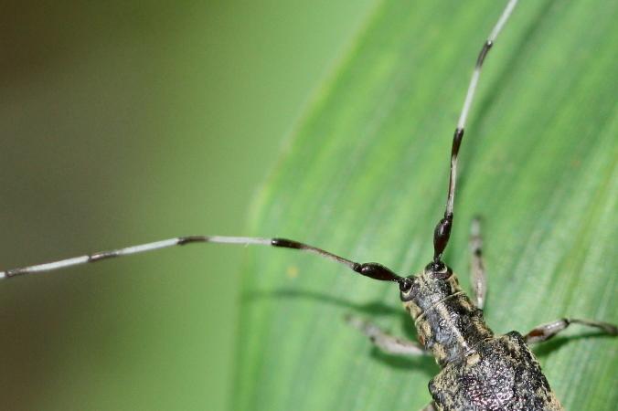 セミスジコブヒゲカミキリ♀3