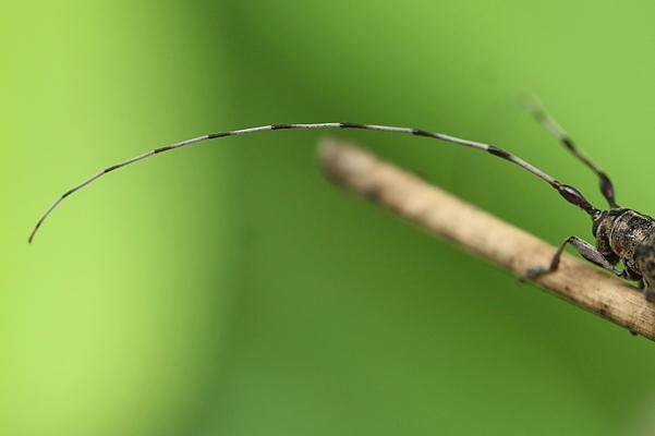 セミスジコブヒゲカミキリ♀4