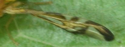 ヤマハマダラミバエ翅