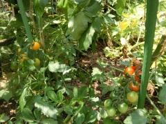 家庭菜園のミニトマト1