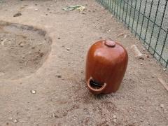 烏骨鶏 鶏 飲水2