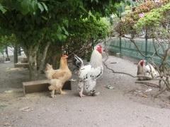 烏骨鶏 鶏 飲水3